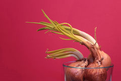 Sprouting Onions in a Glass Bowl Stock Photography