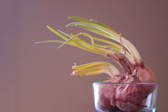 Sprouting Onions in a Glass Bowl Stock Image