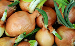 Sprouting onions Stock Photo
