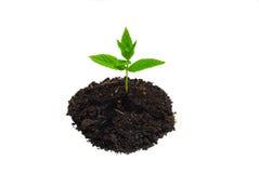 Sprouting orgânico da vida de planta Fotografia de Stock Royalty Free