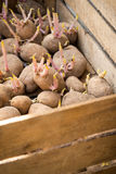 Sprouting organic potatoes ready for planting Stock Photography
