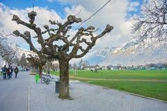 Sprouting PlaneTree in Interlaken, Switzerland Royalty Free Stock Images