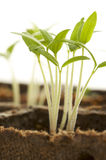 Sprouting Plants
