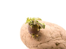 Sprouting potato Royalty Free Stock Photos