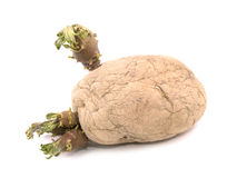 Sprouting potato Stock Image