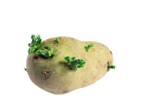 Sprouting potato Stock Images