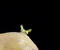Sprouting potato Stock Photography