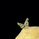 Sprouting potato Royalty Free Stock Photography
