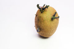 Isolated sprouting seed potato, new fresh growth. Stock Photography