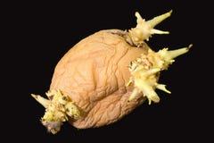 Sprouting potato tuber Stock Photography