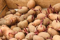 Sprouting potato tubers in wooden box Royalty Free Stock Photography