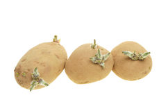 Sprouting potatoes royalty free stock photography