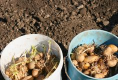 Sprouting potatoes. In buckets, planting potato on a ecological organic farm Stock Images