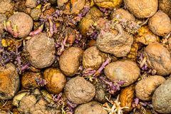 Sprouting potatoes cornered. Abstract background Royalty Free Stock Photos