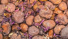 Sprouting potatoes cornered. Abstract background Royalty Free Stock Image