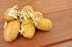 Sprouting Potatoes Stock Photo