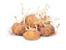 Sprouting potatoes Royalty Free Stock Photo