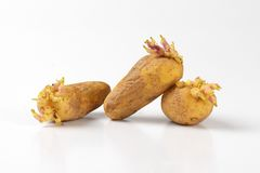 Sprouting potatoes Stock Image