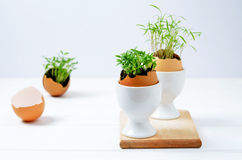 Seedlings in eggshells. Sprouting seed in an eggshell Stock Image