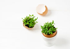 Seedlings in eggshells. Sprouting seed in an eggshell Stock Photography
