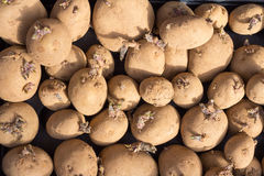 Sprouting Seed Potatoes Royalty Free Stock Photography