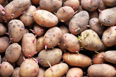 Sprouting seed potatoes ready for planting background. Stock Photos