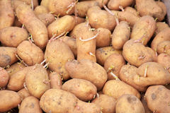 Sprouting seed potatoes ready for planting background. Royalty Free Stock Photos
