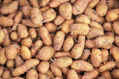 Sprouting seed potatoes ready for planting background. Stock Photography