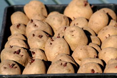 sprouting seed potatoes in tray for planting. royalty free stock photo