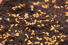 Sprouting seeds of cress Royalty Free Stock Images