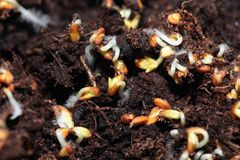 Sprouting seeds of cress Stock Images
