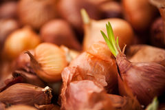 Sprouting Shallots Stock Image