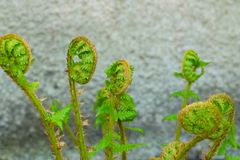 The sprouting shoots of a fern Royalty Free Stock Photos