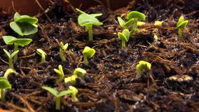 Sprouting shoots. Timelapse video of sprouting shoots
