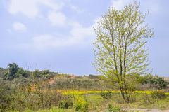 Sprouting tree before flowering rape fields at sunny spring noon Stock Photography