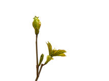 Sprouting tree leaves on white background Royalty Free Stock Photo