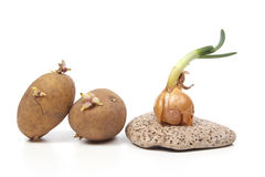 Sprouting vegetableles on a stone Royalty Free Stock Photo