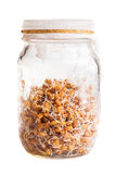 Sprouting Weat Seeds Growing in a Glass Jar Royalty Free Stock Images