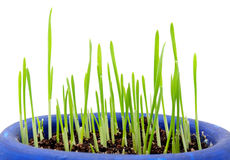 Sprouting Wheatgrass on White Background Royalty Free Stock Photography