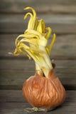 Sprouting white onion Royalty Free Stock Photo