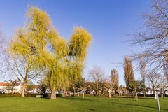 Sprouting willow tree with green leaves in spring season.  Stock Image