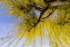 Sprouting willow tree with green leaves in spring season.  Royalty Free Stock Photos