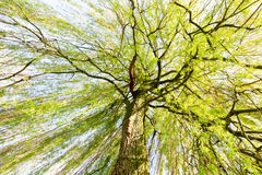 Sprouting willow tree in spring season Royalty Free Stock Photography