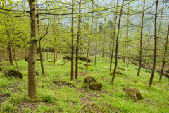 Sprouting woods on grassy mountainside in verdant spring Stock Photos
