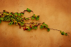 Sprouts. Ivy sprouts on a brown wall Stock Photography