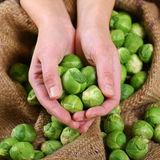 Sprouts Royalty Free Stock Image