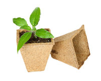 Sprouts. Green plant in a peat pot on a white background Stock Images