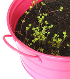 Sprouts of arugula. In a pink pot on a white background royalty free stock photography