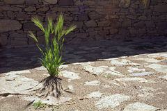 Sprouts of barley on the stone courtyard. Royalty Free Stock Image