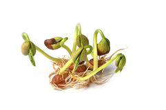 Sprouts of bean Royalty Free Stock Image